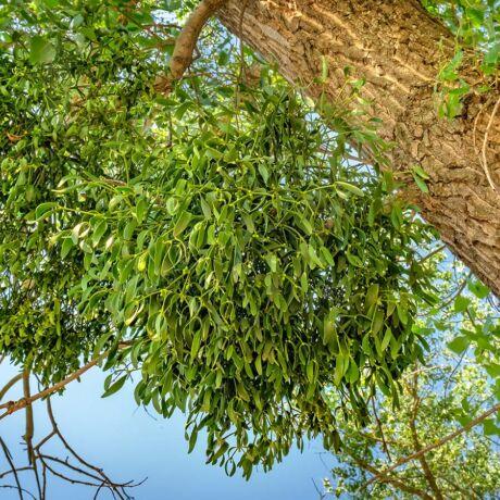Prosztata növényi fák)